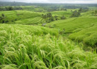 Tường Lưu: Cắt Tranh – Gặt Lúa