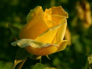 Rose of New Beginning