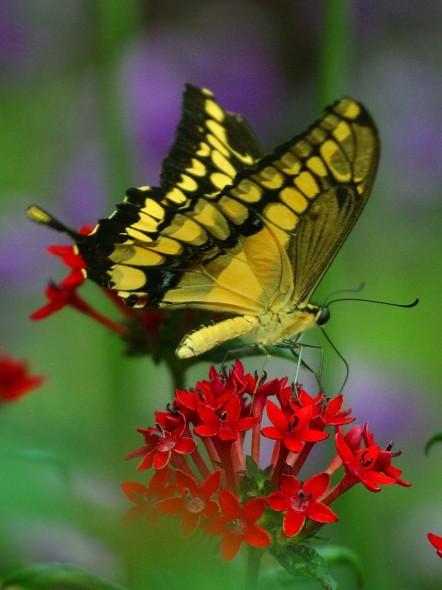 YellowButerfly