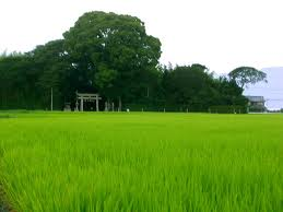 ricefield_02