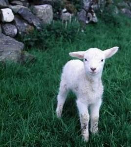 sheep_02