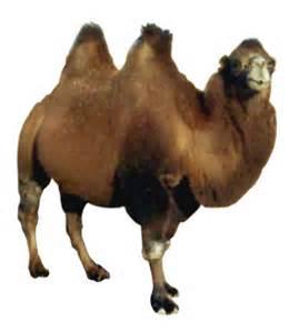 03_camel