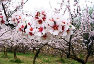 AlmondFlower_Tree_02