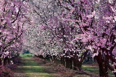 AlmondFlower_Tree_03s