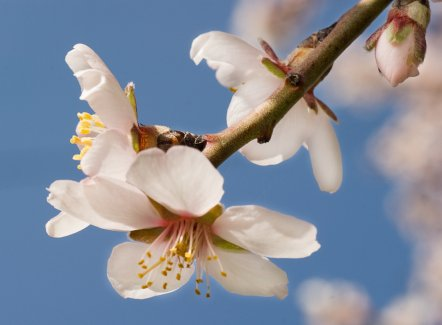 AlmondFlower_Tree_10