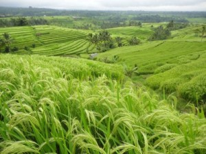 ricefield_s