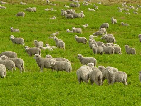 sheeps_01