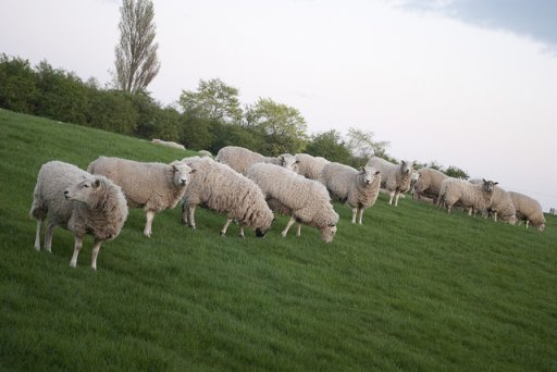 Sheep_01s