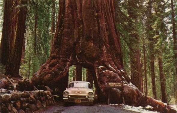redwood_02s