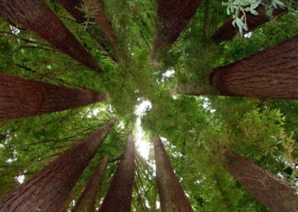redwood_03s