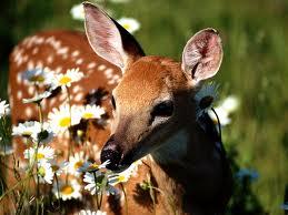 Deer_20