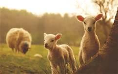 sheeps_13