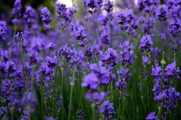 Lavender_flower_04