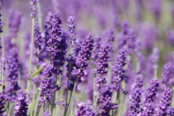 Lavender_flower_08