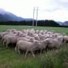Tùng Sơn: Người Chăn