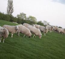Tường Lưu: Chiên Của Đồng Cỏ Ngài