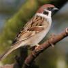 Thánh Ca: Chim Sẻ Mắt Chúa Vẫn Chú Vào – His Eye Is on the Sparrow