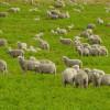 Mục sư Võ Ngọc Thiên Ân: Làm Chiên Của Chúa