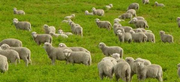Chiên Của Chúa