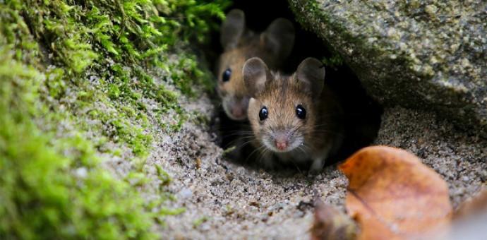 Tìm Hiểu: Chuột Trong Thánh Kinh