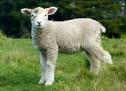 Tôn Ngợi Chiên Con