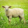 Agnus Dei (Worthy is the Lamb)