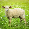 Agnus Dei (Worthy is the Lamb)