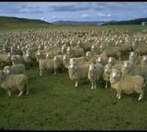 Thánh Ca: Kìa Chín Mươi Chín Chiên