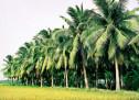 Truyện Ngắn: Dưới Bóng Dừa