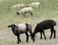 sheeps_19